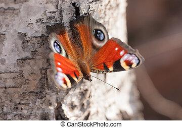 butterfly on a birch tree