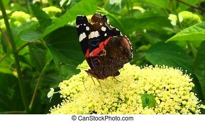 butterfly on a flower - Big black butterfly Monarch walks on...