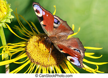 Butterfly on a flower inula. Shallow depth of field