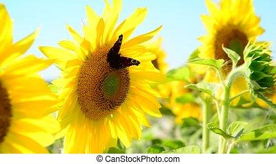 Butterfly on a flower of sunflower in field