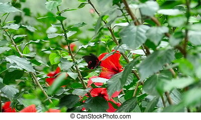 Butterfly on a hibiscus flower - The tropical butterfly...