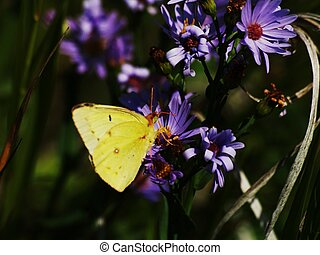 Butterfly on a Purple Daisey - Butterfly,yellow,Blue,flower...