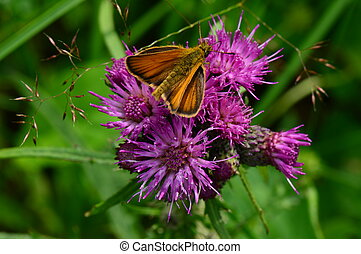 Butterfly on a purple flower of bur