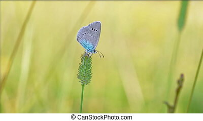Butterfly on a stalk of grass. - Butterfly on a stalk of...