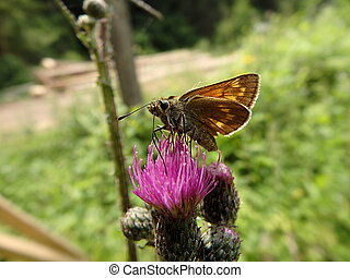 butterfly on a thistle flower