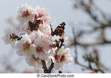 butterfly on almond tree flower