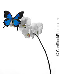 butterfly on an orchid