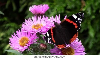 Butterfly on aster flowers in the garden - macro