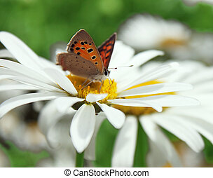 butterfly on camomile