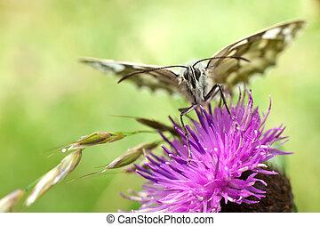 butterfly on centaurea