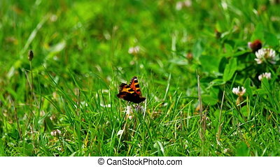 Butterfly on clover flower - The orange butterfly on white...