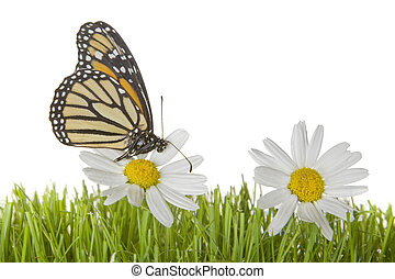 Butterfly on Daisy flower - A monarch butterfly on white and...