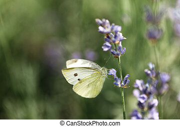 butterfly on flower of lavender - white butterfly sitting on...
