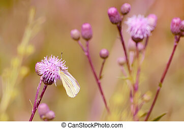 Butterfly on flower - Pieris brassicae butterfly on Cirsium...