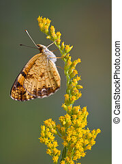 A tiny butterfly is resting on a branch of goldenrod.