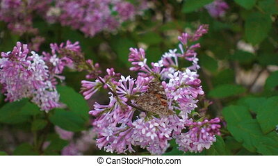 Butterfly on lilac flower, movie - Butterfly vanessa...