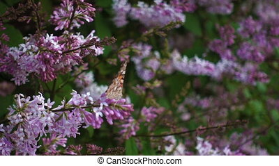 Butterfly on lilac flower, movie - Butterfly vanessa ...