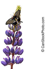 Butterfly on lupin flower