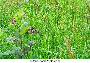 Butterfly on Milkweed - A Monarch butterfly on milkweed