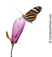 Butterfly on pink magnolia flower - Orange and black ...