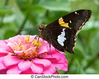 Butterfly on Pink Zinnia Flower