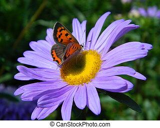 Butterfly on Purple Shasta Daisy