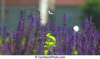 Butterfly on sage flowers