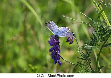 Butterfly on the clover flower closeup