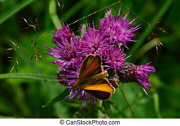 Butterfly on the edge of a beautiful purple thistle flower
