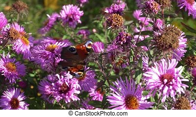 butterfly on the flowers in the garden feeds on nectar.