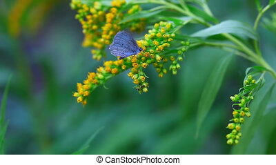 Butterfly on the Solidago virgaurea flowers