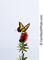 Butterfly on Tip of Flower - A tiger swallowtail butterfly...