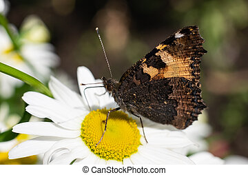 Butterfly on white chamomile flower close up.