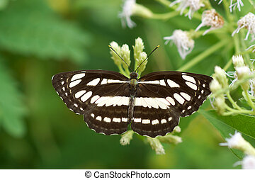Butterfly on white flower name Common Sailor