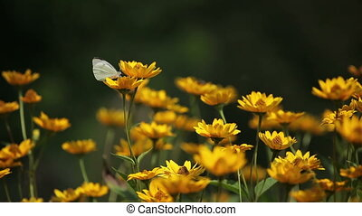Butterfly on yellow flowers