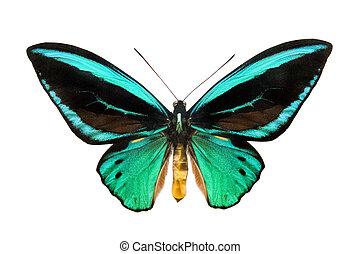 butterfly Ornithoptera priamus poseidon isolated on white...