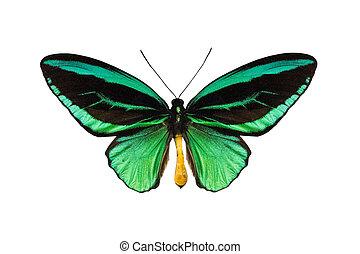 butterfly Ornithoptera priamus poseidon, isolated on white...