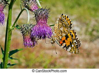 Butterfly painted lady on flowers