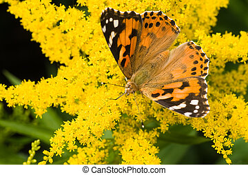 Butterfly Painted Lady on yellow solidago
