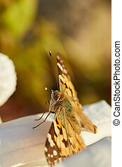 Butterfly painted lady. Vanessa cardui