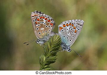 butterfly pair (Polyommatus bellargus)