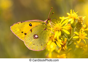 Butterfly Pale clouded yellow (Colias hyale) feeding nectar...