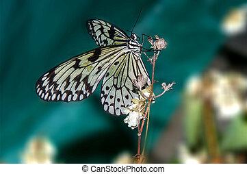 Butterfly paper snakes or Idea leuconoe - Idea leuconoe...