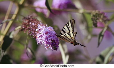 Butterfly (Papilio machaon) on a flower