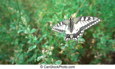 Butterfly Papilio machaon on a flowering plum tree.