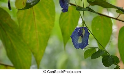 butterfly pea flower hanging from brunch on rainy day in garden