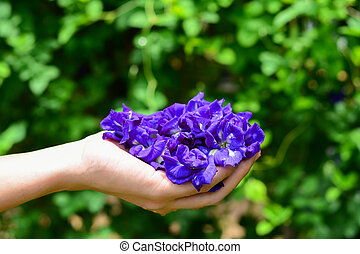 Butterfly pea flowers.