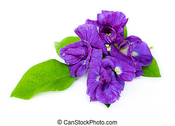 Butterfly pea is flower natural herbs.
