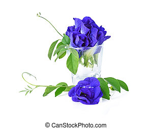 Butterfly Pea isolated on white background