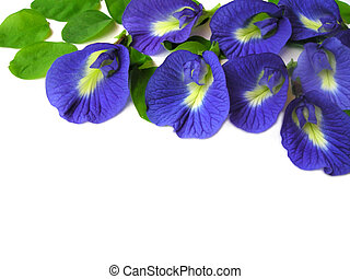 Butterfly Pea Nine - Beautiful blue flower. Pigments from ...